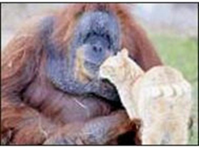Orangutan-kedi arkadaşlığı
